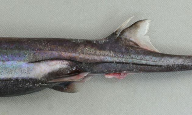腹鰭上方斑紋の後方に筋状に伸びる。後方に伸びる筋状斑は第2背鰭棘よりも前方から始まり、前方に筋状に伸びる斑よりも長い。