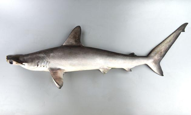 シロシュモクザメの形態写真