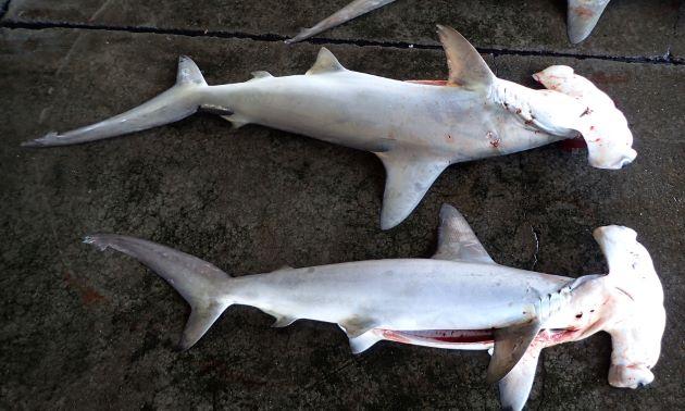 アカシュモクザメの形態写真