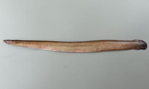 体長60cm前後になる。顎、鰭はなく、背中に皮褶(布を繋ぎ合わせたような隆起)がある。外鰓孔は6(希に7)対でお互い似よく離れている。ムラサキヌタウナギは8対。