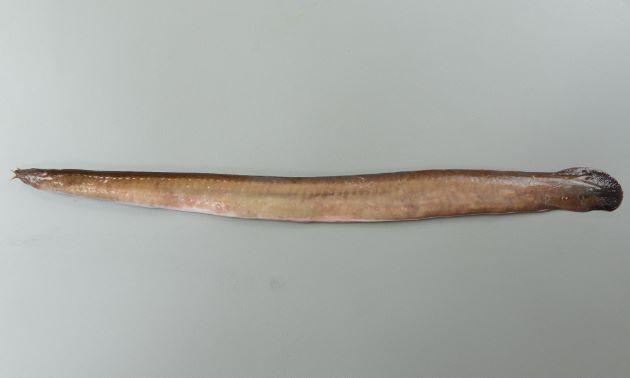 ヌタウナギの形態写真