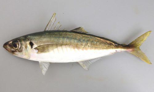 SL 40cm前後になる。断面が丸く身体がほっそりしている。ゼンゴ(稜鱗/硬くてトゲトゲしい鱗)は身体の後方、頭部後方から始まる測線が後方でまっすぐになる測線上にだけにあり。第二背鰭と尾鰭、尻鰭と尾鰭の間に離鰭(独立した鰭)がある。マアジよりもやや青味かかる