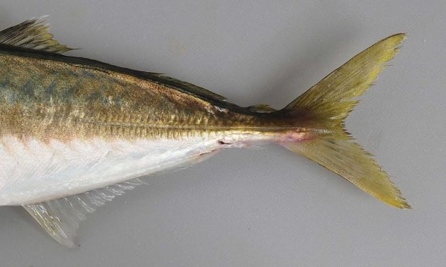 ゼンゴ(稜鱗/硬くてトゲトゲしい鱗)は身体の後方、頭部後方から始まる測線が後方でまっすぐになる測線上にだけにあり。