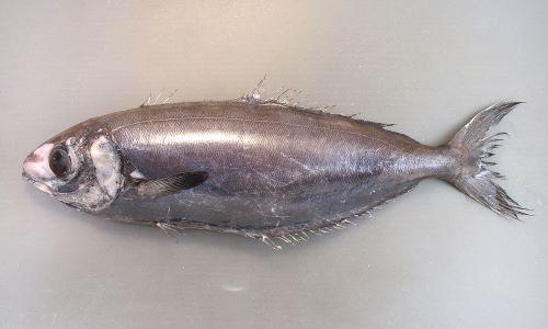 ハナビラウオの生物写真
