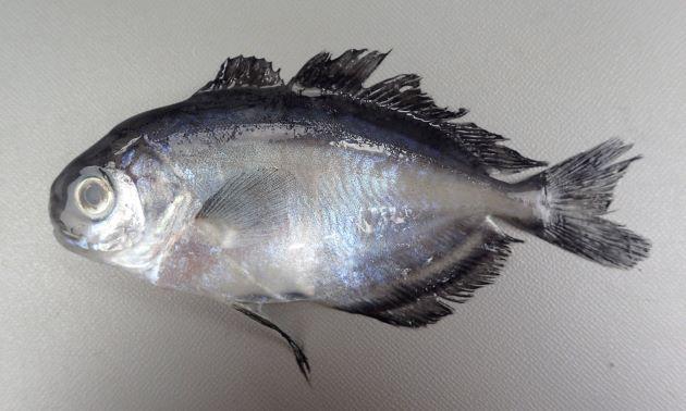 SL(体長)50cm前後になる。背鰭は2、幼魚期は側へんして体高がある。頭部付近には鱗が内ない。