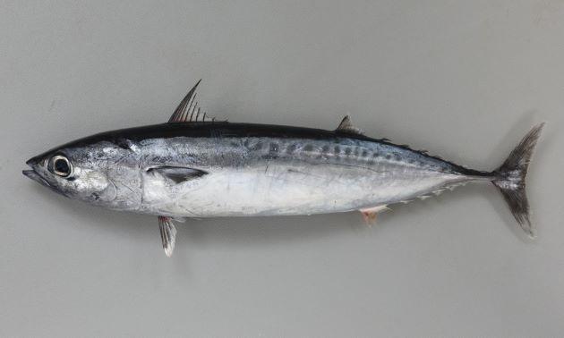 55cm TL前後になる。ヒラソウダと比べて体高(この画像で天地)が低く、身体が丸い。鰓蓋上の暗色(黒い)斑は背中の暗色部分と繋がる。また鰓ぶたの後ろにある鱗のある部分が第1背ビレの後方まで細長く続く。