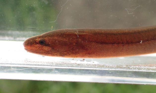 体長35cm前後になる。体表面に鱗はない。粘液に被われる。胸鰭と腹鰭はない。背鰭と尻鰭は皮褶状。