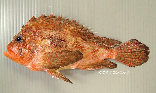 ヤマヒメの形態写真