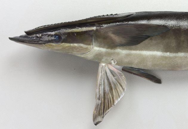 SL 1m前後になる。体は細長い。第1背鰭は吸盤状に変形。これで大型魚に吸着する。体側に白い縦縞がある。吸盤の板状体は18-28。