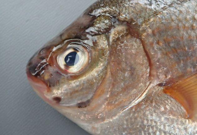 前鰓蓋骨いちばん下部角に黒色の斑紋があるが、ときに薄い。前鰓蓋骨いちばん前下にも小さな斑紋があることがある。[前鰓蓋骨いちばん前下にも小さな斑紋があるタイプ]