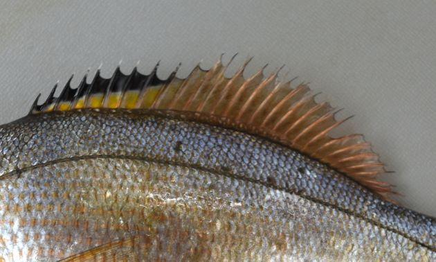 背鰭前半に黒い斑紋のあるものと、ないものとがある。