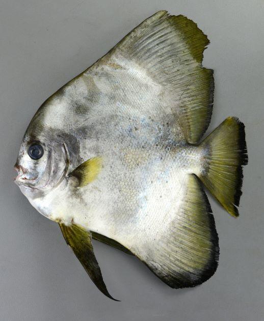 SL(体長)25cm前後になる。全体に銀白色。腹鰭は非常に黒い。背鰭、尻鰭は稚魚、幼魚期は著しく長く、成長とともに短くなる。腹鰭後方上に褐色の斑紋がない。目の上から吻にかけて強くくぼまない。最外列歯は中央と両脇の3本がほぼ同じ大きさ。
