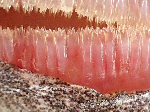 最外列歯は中央と両脇の3本がほぼ同じ大きさ。