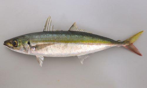 SL50cm前後になる。紡錘形、細長く、背が青く、体側に黄金色の帯が走る。頭部背の鱗は眼球の中央部上を超える。ぜんご(稜鱗)は側線の後部まっすぐなところの3/2以下の長さ。尾鰭下葉は赤みがかる。