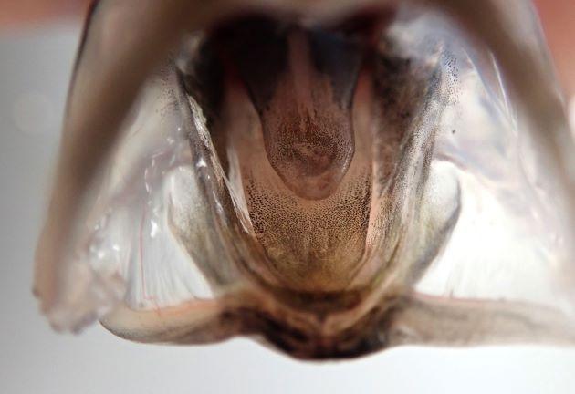 口床は全体に黒い色素で覆われる(クサヤモロは先端部分が黒く後半は淡い色をしている)。