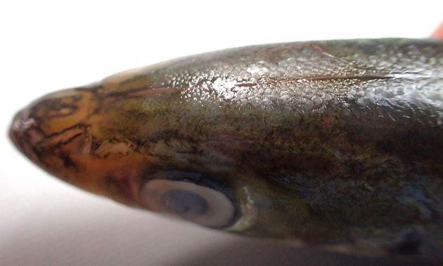 頭部背の鱗は眼球の中央部上を超える。