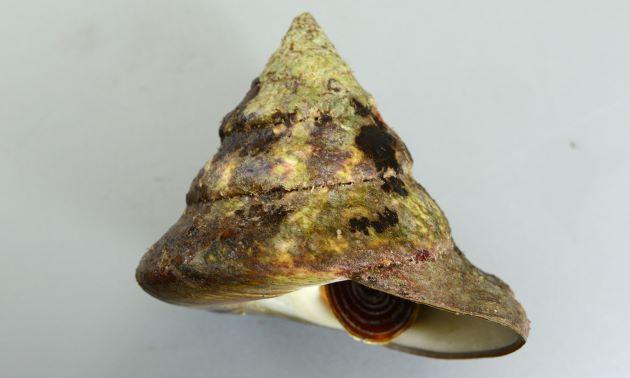 殻高13cm前後になる。貝殻が非常に硬く重い。ふたは薄く硬い。貝殻の表面の層に赤みを帯びた筋状の斑紋が斜めに走る。
