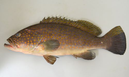 体長80cm前後になる。オレンジ色の丸い斑紋が頭部、側面に散らばる。尾鰭の下半分以上が暗色。