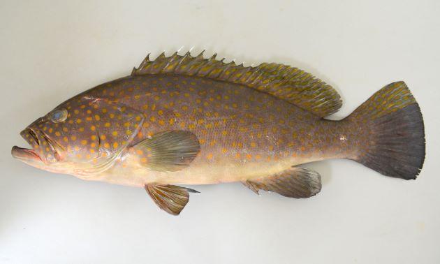 体長76cm前後になる。オレンジ色の丸い斑紋が頭部、側面に散らばる。尾鰭の下半分以上が暗色。