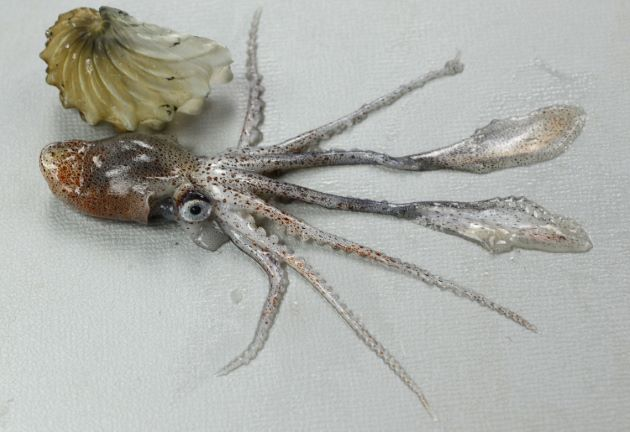 SL8-9cm前後。貝殻は飴色で、放射肋は粗い。