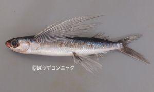 オオメナツトビのサムネイル写真