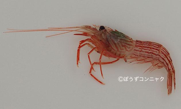 アカシマモエビの形態写真
