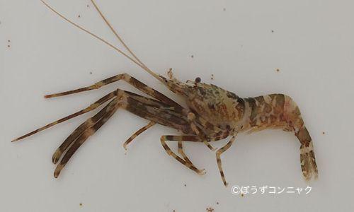 アシナガモエビの生物写真