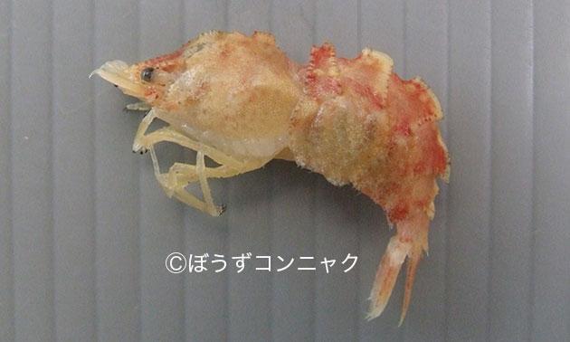 キシノウエモエビの形態写真