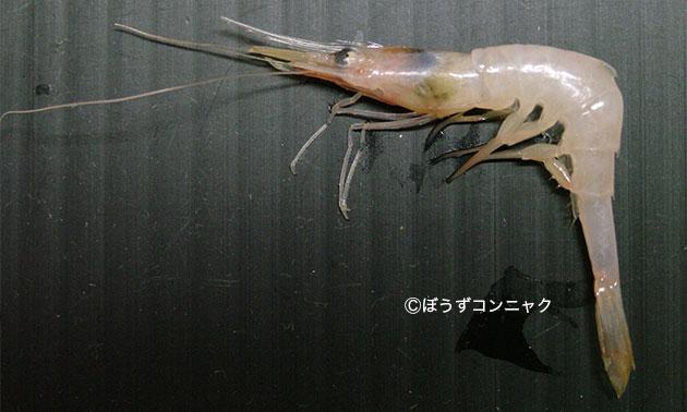 キタツノモエビの形態写真
