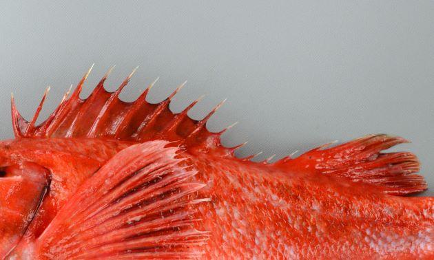 背鰭は黒ずむが明白な斑紋はない。