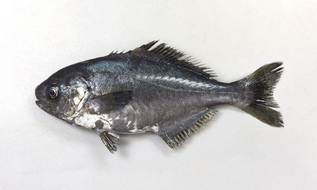 SL80cm前後になる。身体は細長く、身体に対して目と尾鰭が大きい。体表からの粘液でぬるぬるする。[SL 22.5cm]