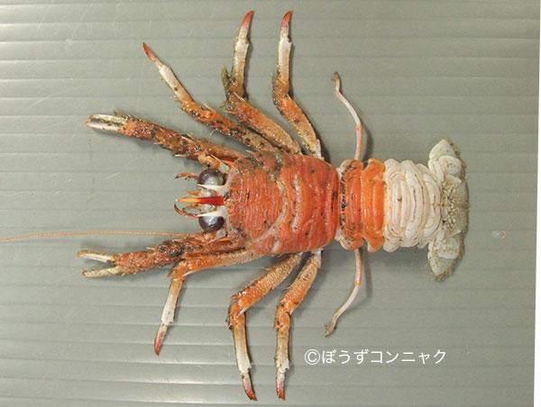 アカツノチュウコシオリエビの形態写真