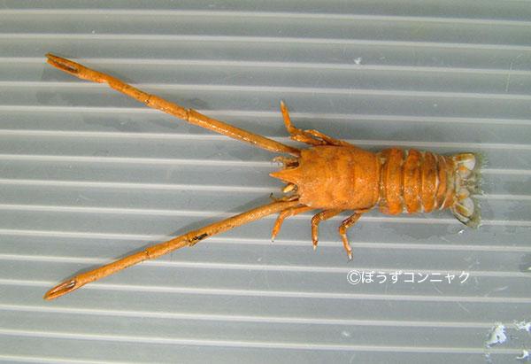 オカダシンカイコシオリエビの形態写真