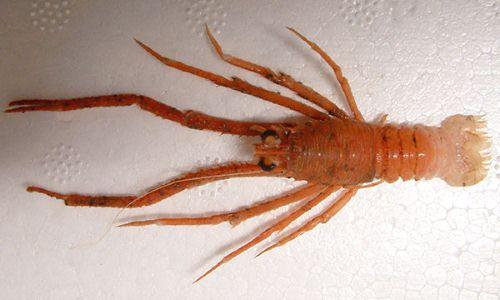 クボチュウコシオリエビの生物写真
