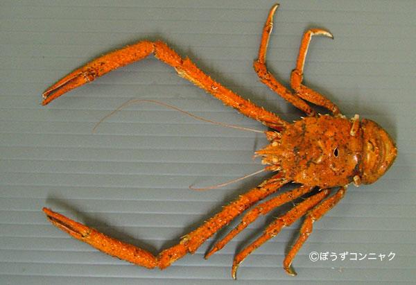 ツノナガシンカイコシオリエビの形態写真
