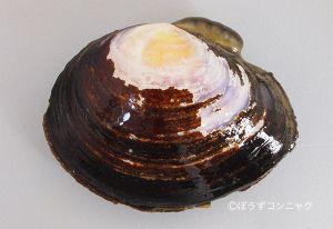 ワスレイソシジミのサムネイル写真