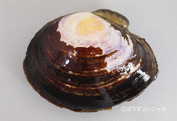殻長8センチ前後になる。全体に丸く殻頂があまりとがらない。