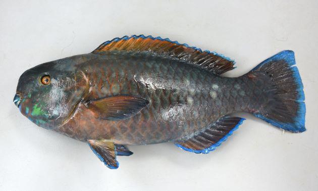 65cm SL 前後になる。尾鰭は截形。歯は大部分が露出する。頬の部分の鱗列は3(3列目は後方に数枚しかないので見えにくい)。胸鰭イガイの鰭の周辺部は青い。尾鰭は截形。[44cm SL・2195g]