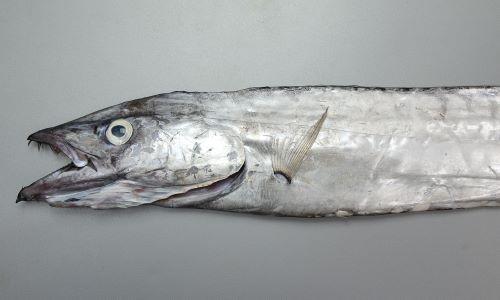 体長2m前後になる。尾鰭があり、体が非常に長い。
