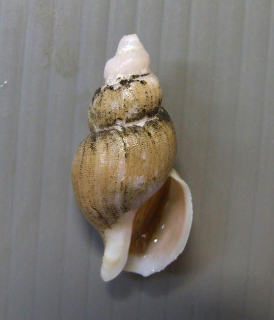 SL 40mm前後になる。殻皮に被われて表面は密な螺溝がありベージュ色。貝殻は赤みがかる。