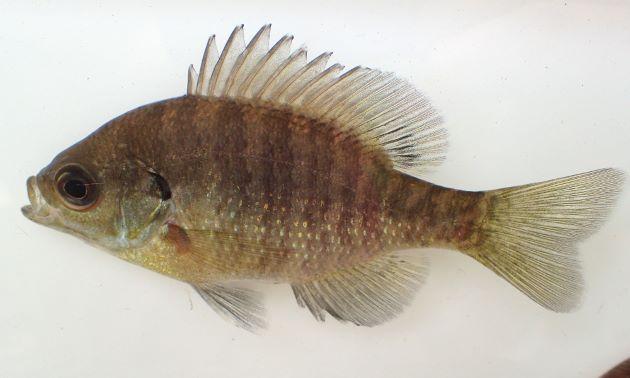 ブルーギル | 魚類 | 市場魚貝類...