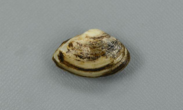 殻長25mm前後になる。アサリと比べると小型。比較的膨らみが薄く、褐色の殻皮をかぶる。右殻の方が左の殻よりも殻高がある。