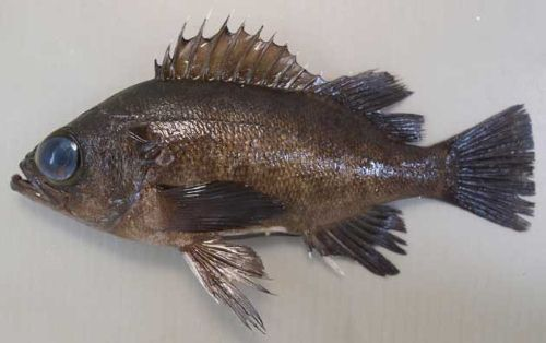 クロメバルの生物写真
