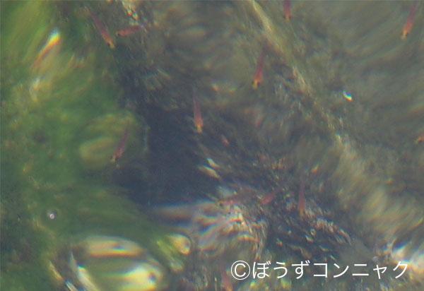 チャガラの形態写真
