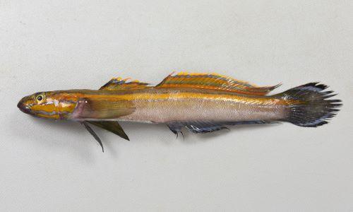 ニシキハゼの生物写真