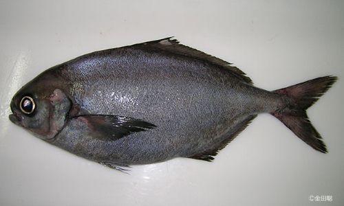 シロヒラスの生物写真