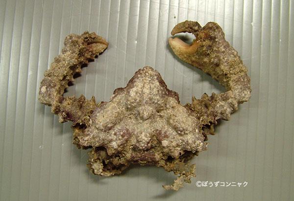 カルイシガニの形態写真