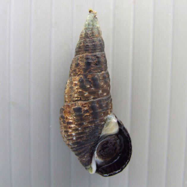 35mm SL 前後になる。やや体層がふくらみずんぐりしている。体層側面に低い縦張肋が現れる。殻口後端の滑層瘤は白くはっきりしている。殻表の螺肋は低い。