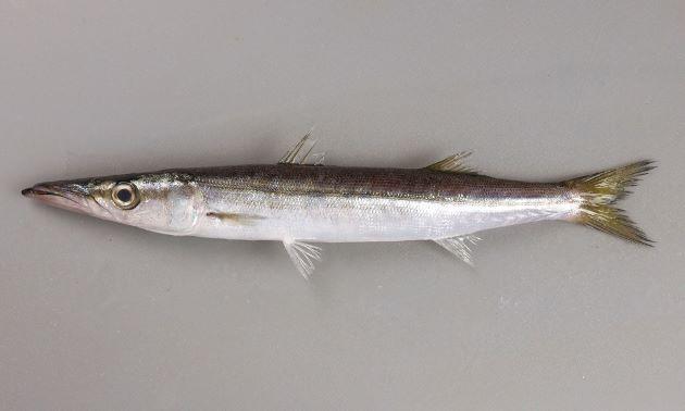 体長35cm前後になる。体側に斑紋がなく、背鰭と腹鰭は同じくらいの位置から始まるが、腹鰭の方がやや後方から始まる。鰓に1本の鰓耙がある。