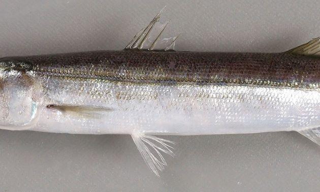 体側に斑紋がなく、背鰭と腹鰭は同じくらいの位置から始まるが、腹鰭の方がやや後方から始まる。似ているホソカマスは腹鰭の始まりの方が背鰭の始まりよりも前にある。オオヤマトカマスは背鰭の始まりは腹鰭の始まりと同位置。